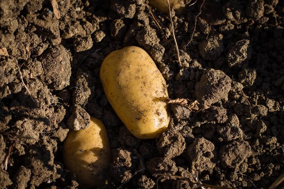 patata-1