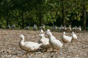 elevage-gavage-canards-oies-foie-gras-268