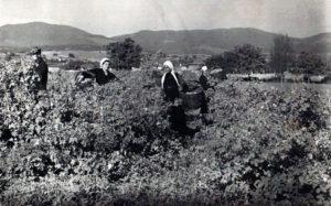 Rose-harvest-in-Bulgaria-in-1937
